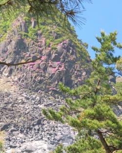例年5月にはミヤマキリシマが咲いています。