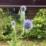 例年看板付近に咲くヒゴタエ